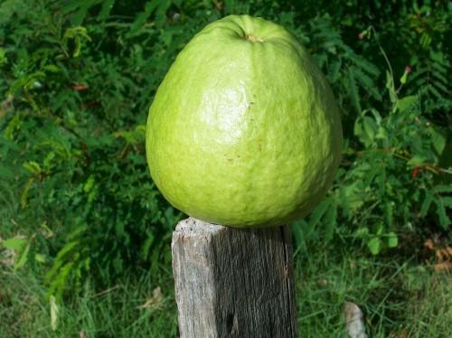 Gvajava (guava) vaisius